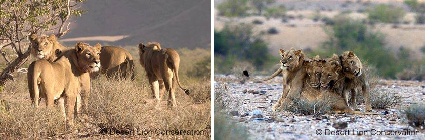 lejon i Namibia