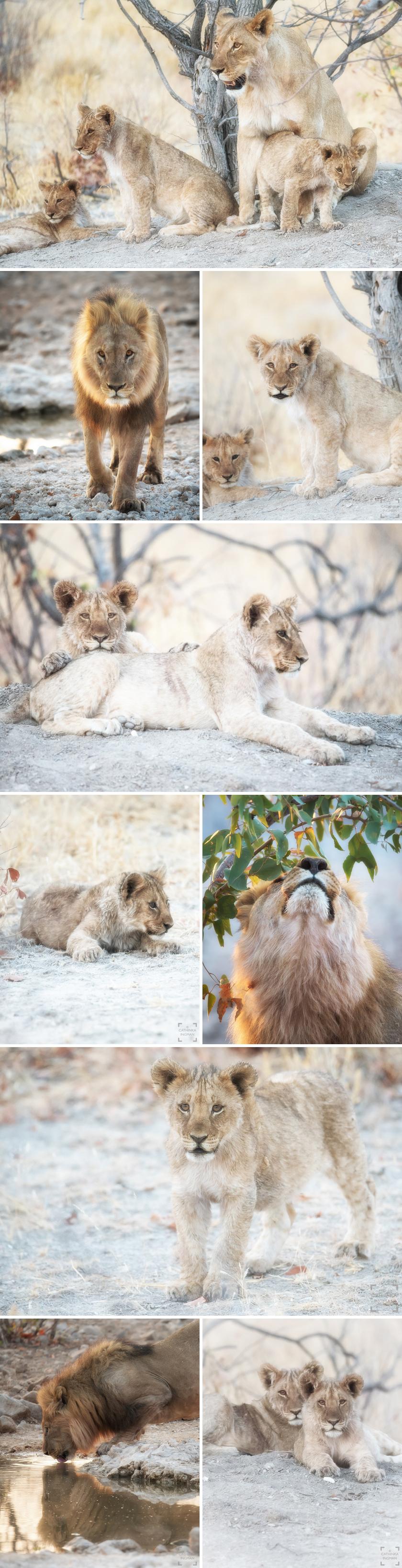 Safari Etosha Ongava lejon