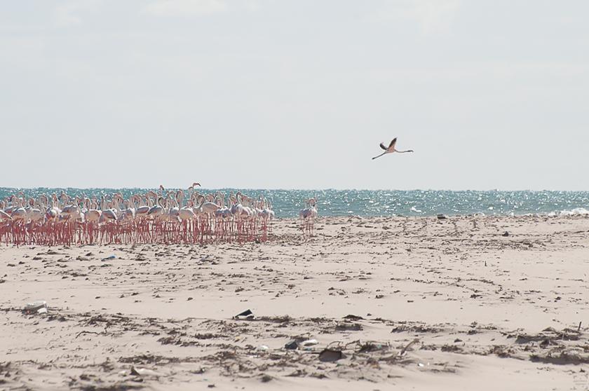 Bazaruto Flamingos