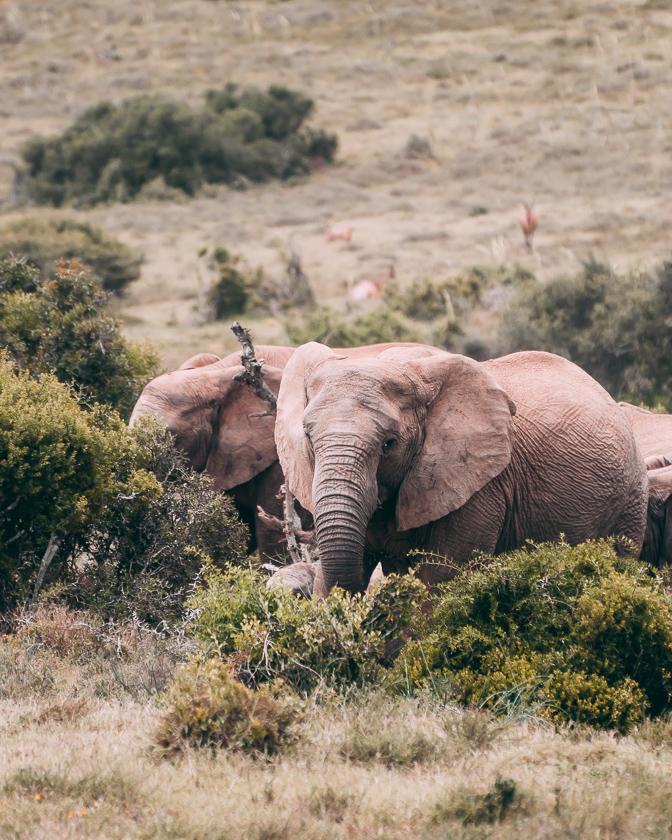 resa till sydafrika, addo elephant park