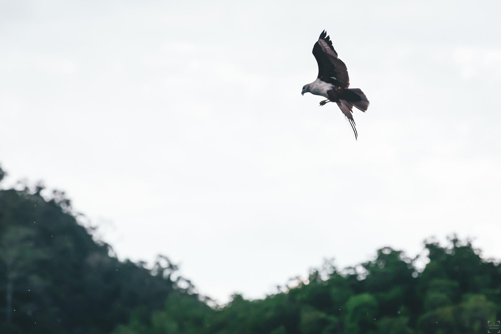 örnar i Kilim geoforest Langkawi