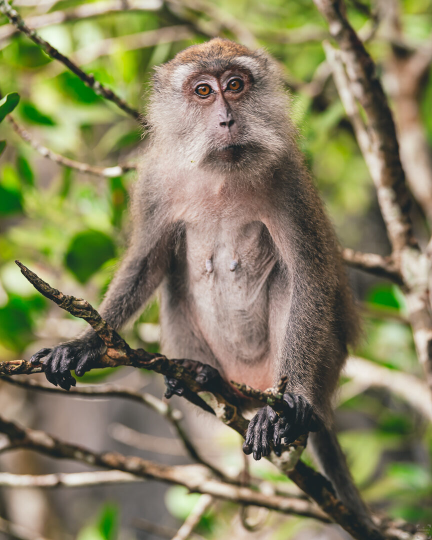 Apa, makak, Kilim Geoforest park