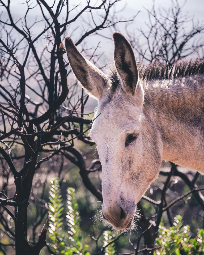 vandra med åsnor på Algarve