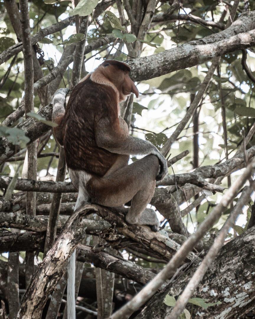En näsapa i Bako National Park