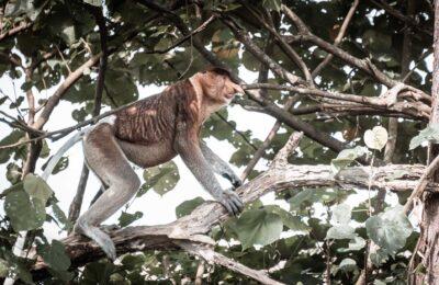 Reseblogg, näsapan i Bako National Park