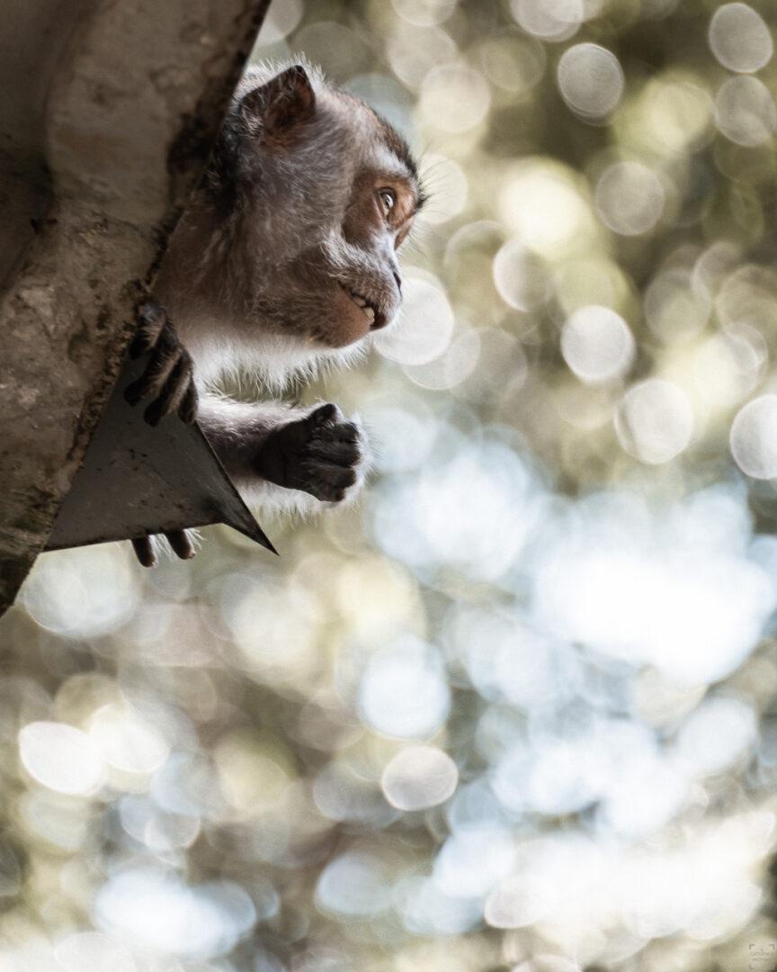 Makak i Bako National Park
