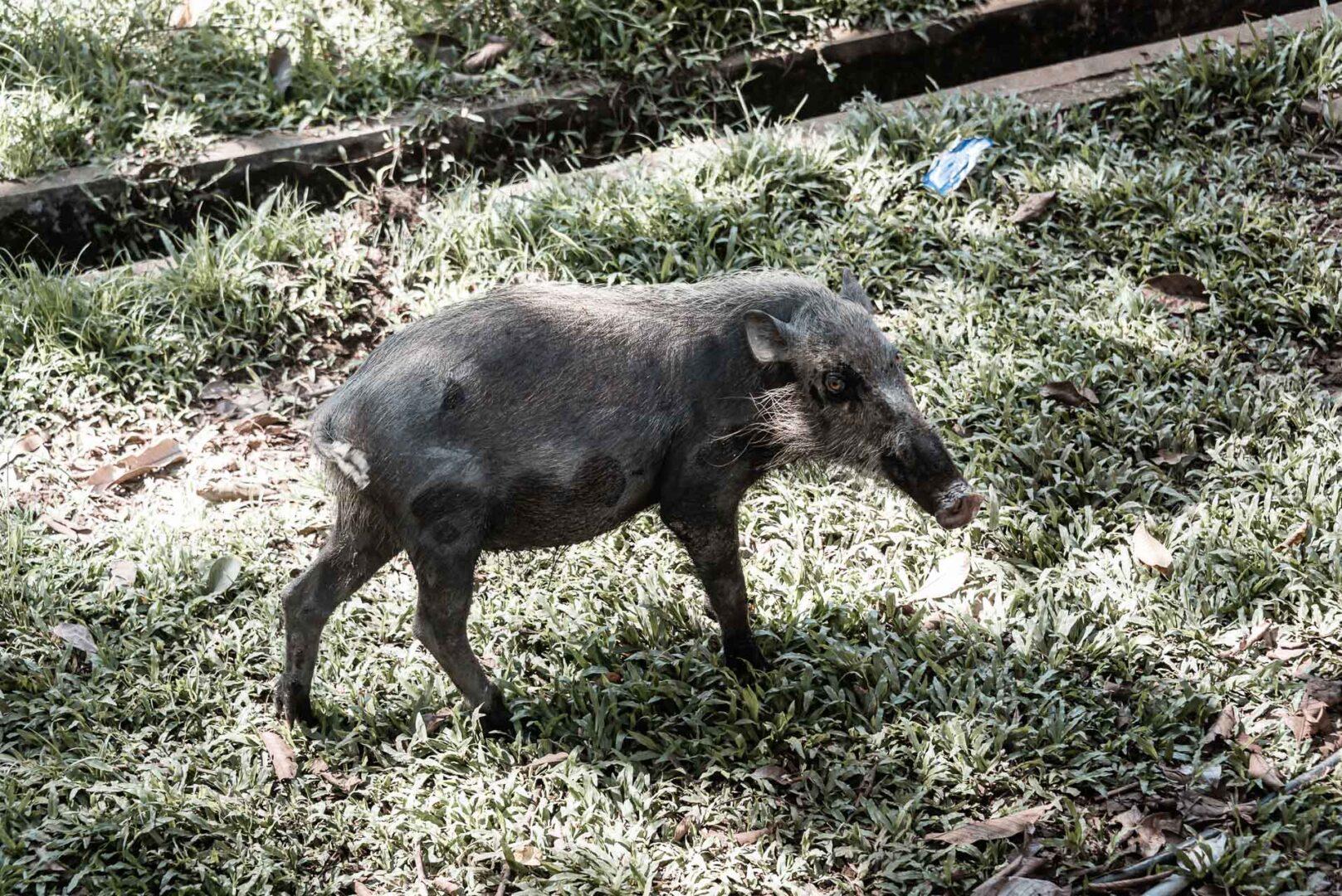 Ett skäggvildsvin i Bako National Park