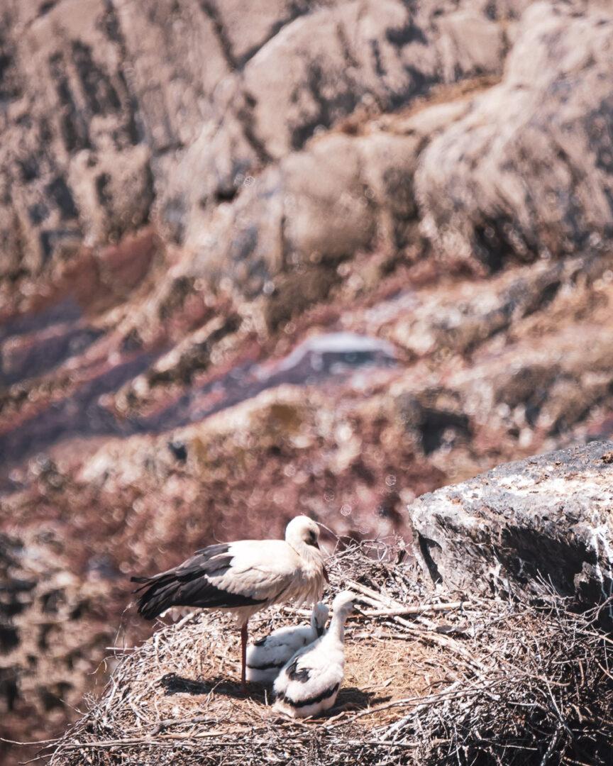 stork med stora ungar