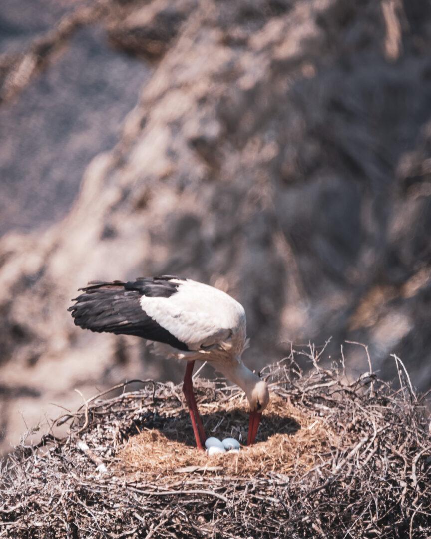 stork bo med ägg